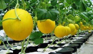 Golden melon dengan menggunakan teknologi hydropot.